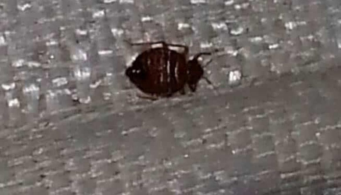 Bed Bug in Madison, Alabama