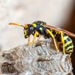 A young Paper Wasp Queen builds a nest to start a new colony.