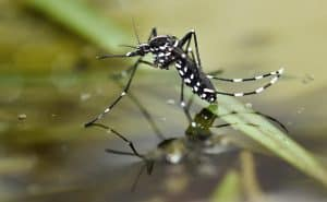 Aedes albopictus on water