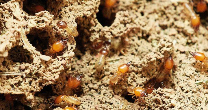 Termites in North Alabama