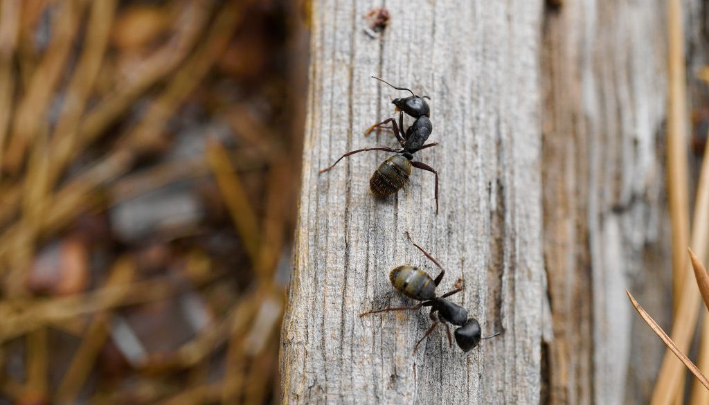 Ants in North Alabama
